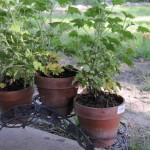 Scented Geranium  Citronella scented